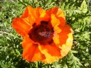 Studley Cottage Bed and Breakfast in Tunbridge Wells, Kent. Giant poppies in the pretty surrounding gardens