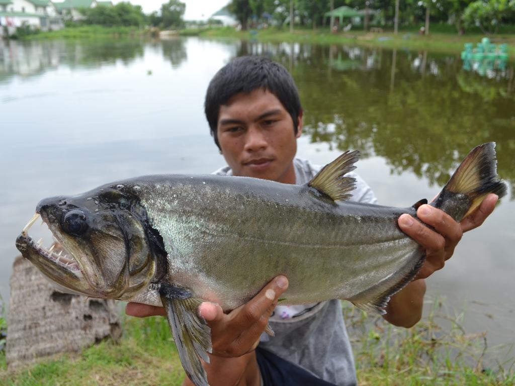 Fishing Holidays At Palm Tree Lagoon In Thailand Thai