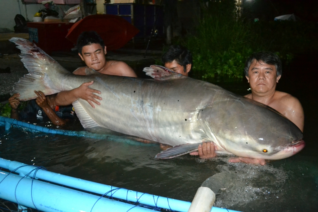 Mekong Giant Catfish Record