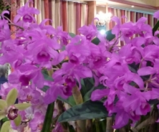 Cattleya Golden Pride x C. Cathy Noel