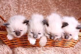 ragdoll breeders scotland