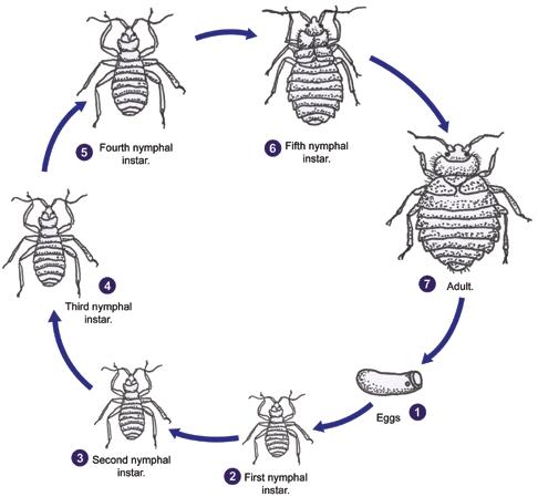 Bee Life Cycle Diagram