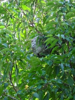 Wasp Nest in a hedge.
